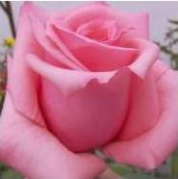 Butasi de trandafiri de la Sweet Garden