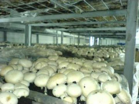 Plan de afaceri pentru cultura ciupercilor Agaricus de la Duplicom Grup Srl.