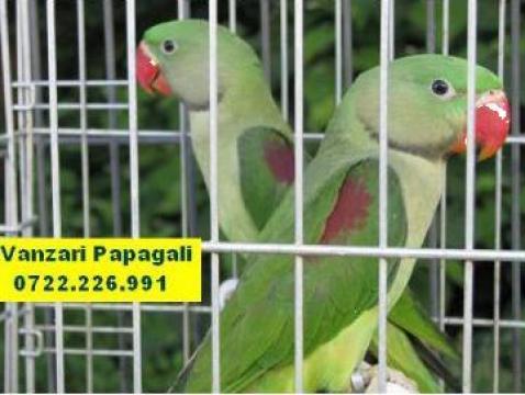 Papagali vorbitori - Bucuresti - Pfa Draguloiu Dan, ID: 454838