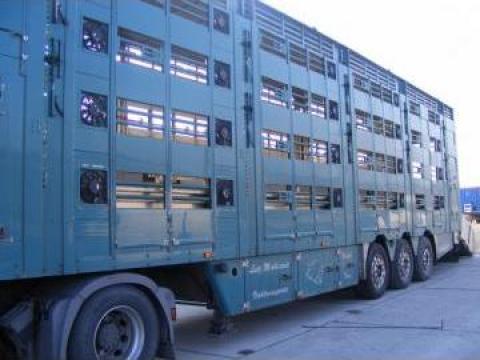 Transport porci vii