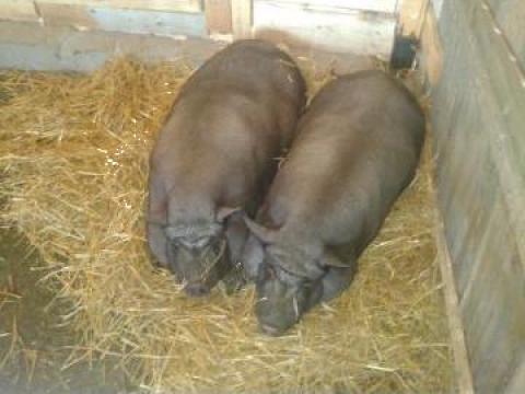 porci de vanzare 100 kg