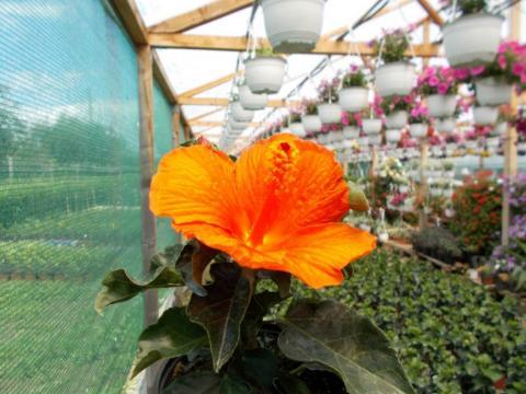 Trandafir japonez la ghiveci de la Sc Fabrica De Flori Natura Srl