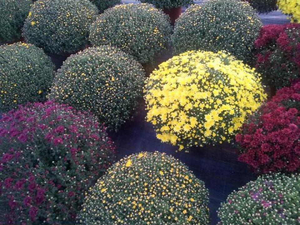 Crizanteme multiflora